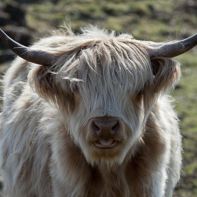 """""""Highland Cow Headshot"""" stock image"""