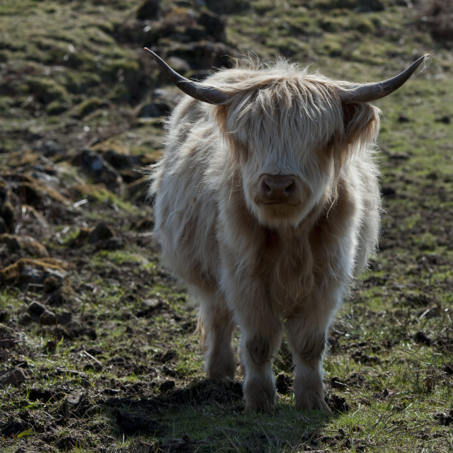 """Highland cow in a field"" stock image"