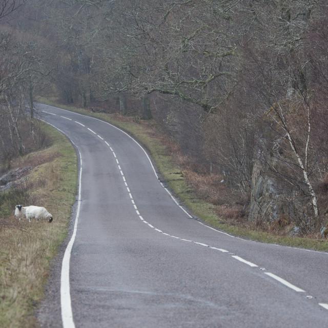 """Sheep on a Scottish Roadside"" stock image"