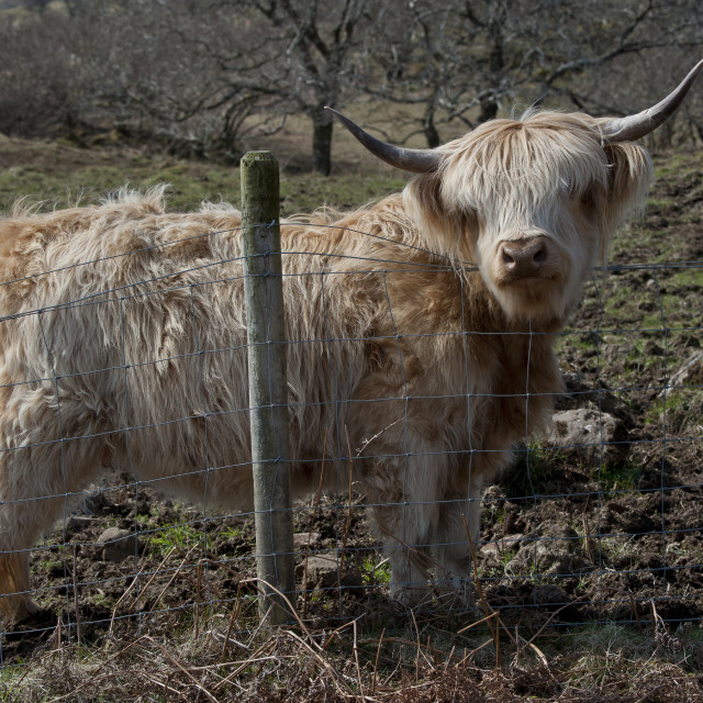 """Highland cow at a pasture fence"" stock image"