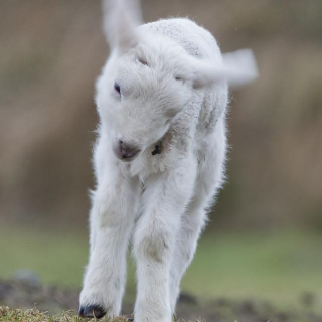 """""""Frolicking lamb"""" stock image"""