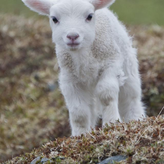 """Lamb on rocks"" stock image"