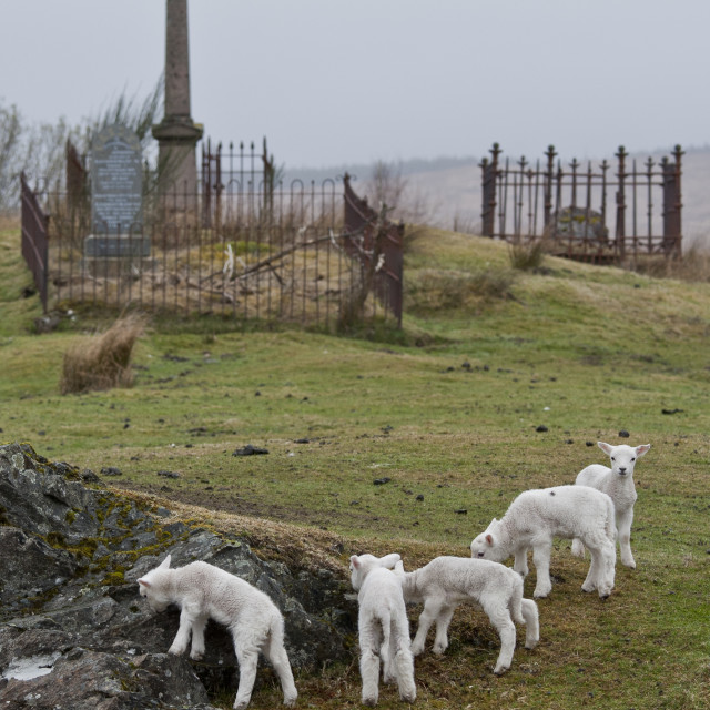 """Lambs playing in a graveyard"" stock image"