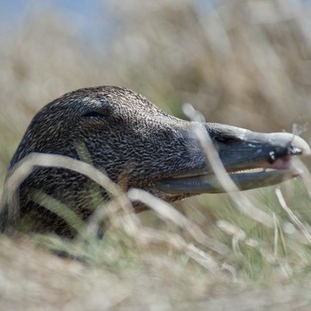 """Eider duck headshot"" stock image"