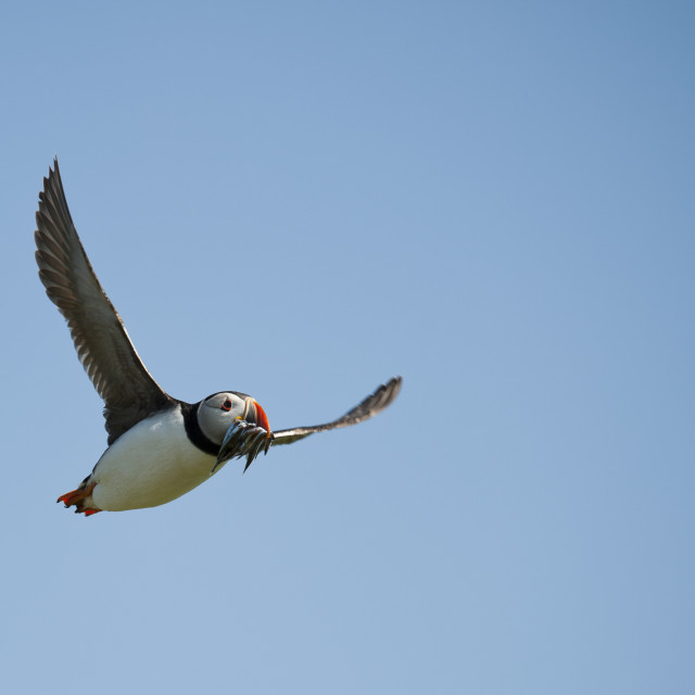 """Flight of the puffin"" stock image"