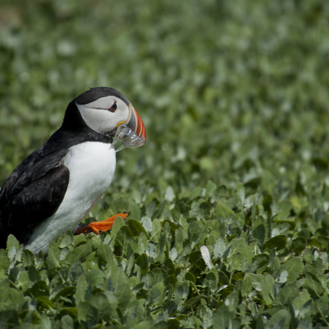 """Puffin in a field of green"" stock image"