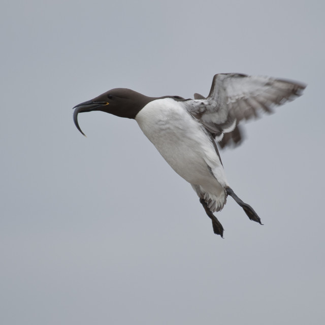 """Guillemot lands with a fish"" stock image"