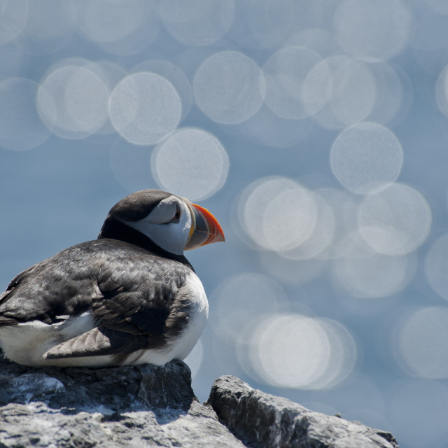 """Sparkle puffin"" stock image"