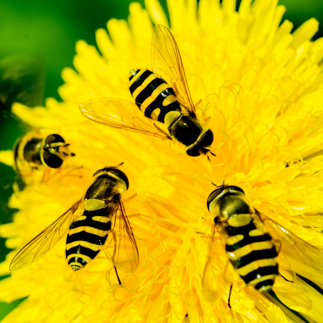 """Hover Flies on a flower"" stock image"