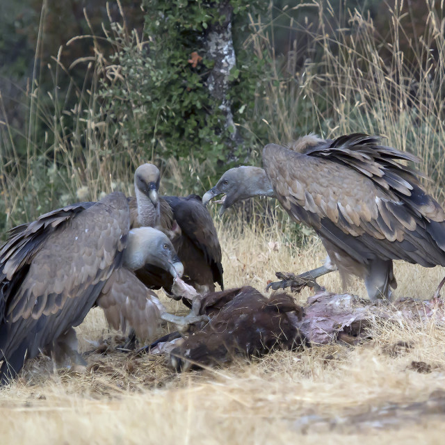 """Griffon Vultures."" stock image"