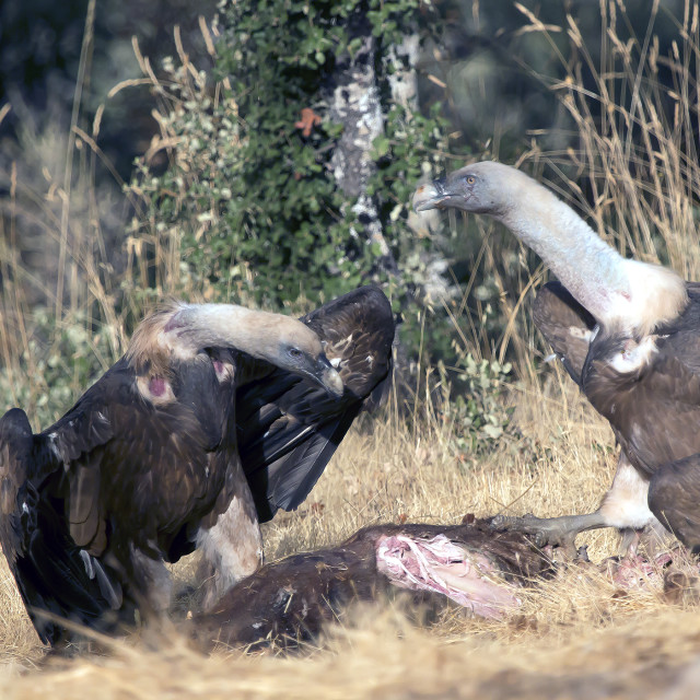 """Two Griffon Vultures."" stock image"