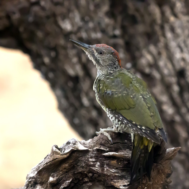 """Green Woodpecker Juvenile."" stock image"