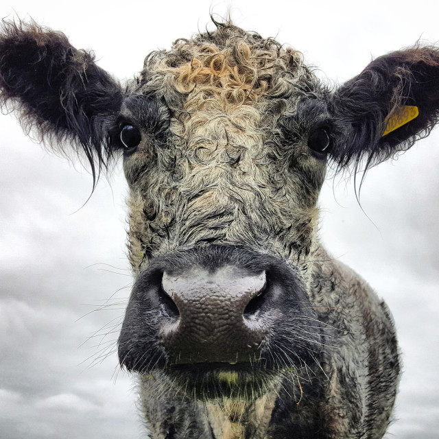 """""""Blue Grey Cow"""" stock image"""