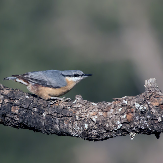 """Nuthatch."" stock image"