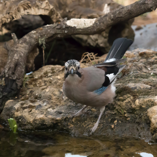 """A Jay by a water hole."" stock image"