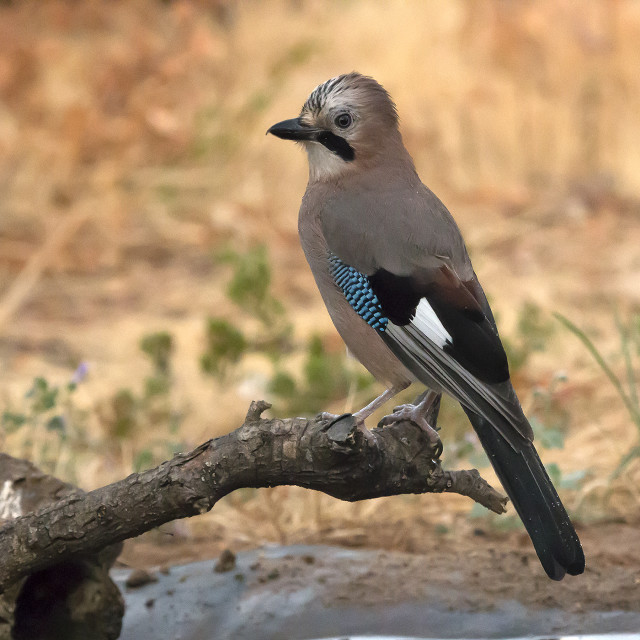 """A Jay on a perch."" stock image"