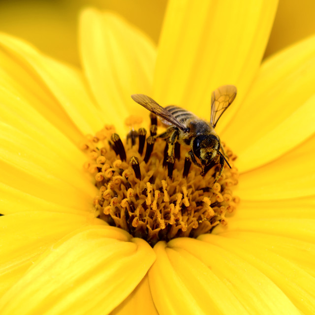 """bee while collecting the pollen over the flower"" stock image"