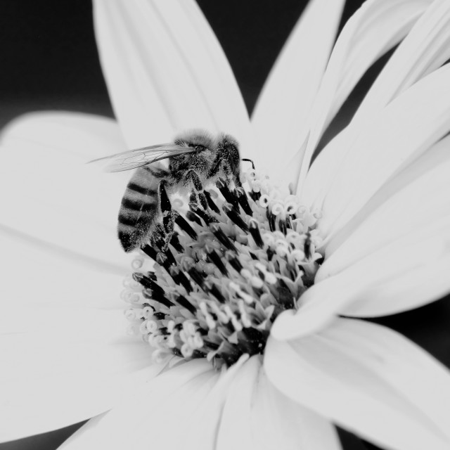 """small bee on white flower"" stock image"