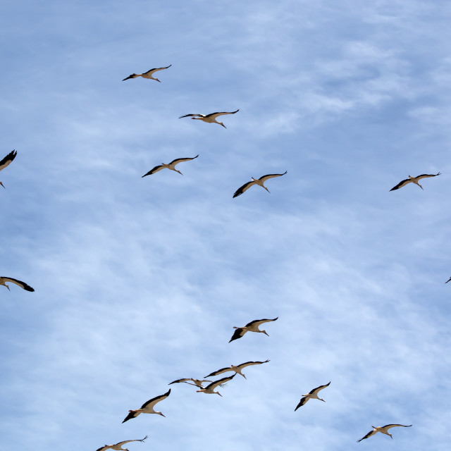 """Migrating Storks."" stock image"