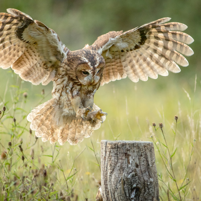 """Tawny Owl Landing on post"" stock image"