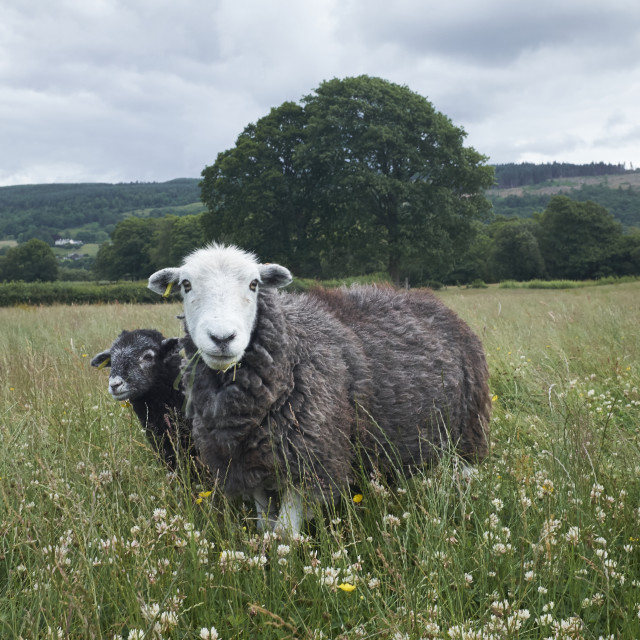 """Herdwick Sheep and Lamb"" stock image"