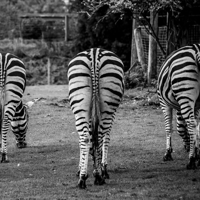 """Zebra behind"" stock image"
