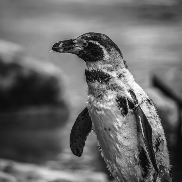 """Penguin black and white"" stock image"