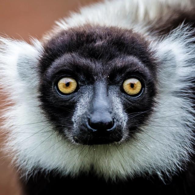 """Lemur eyes"" stock image"