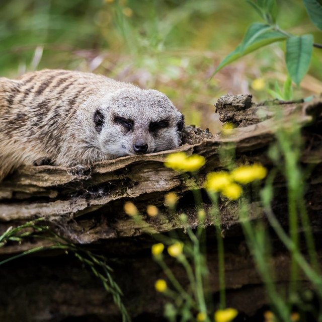 """Sleeping Meerkat"" stock image"