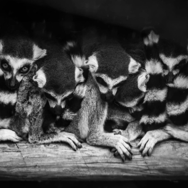 """Lemur huddle"" stock image"