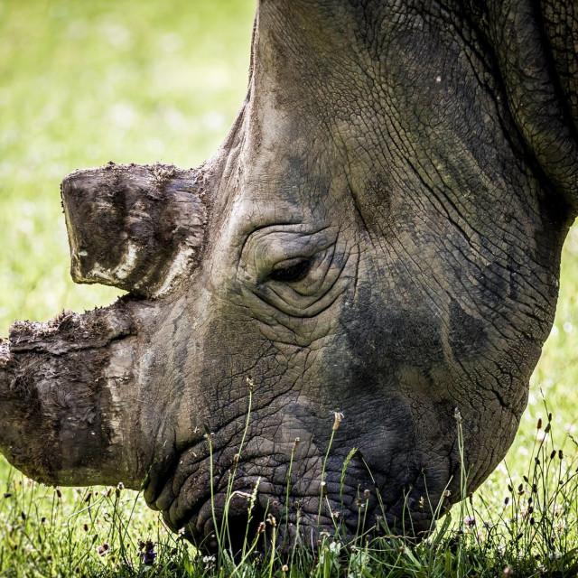 """""""Rhino graze"""" stock image"""