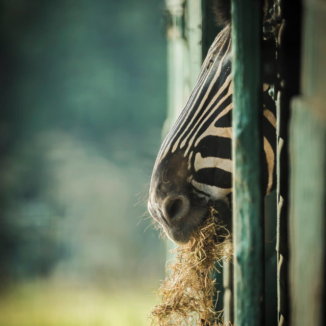 """Zebra nose"" stock image"