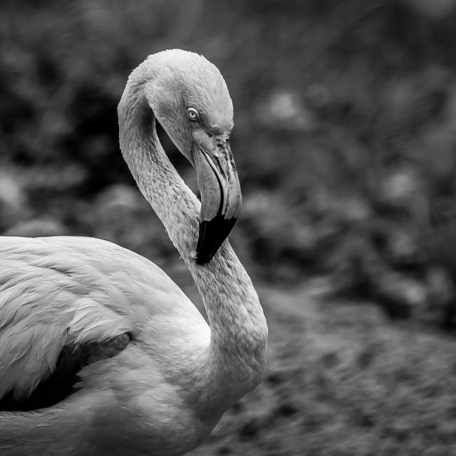 """Flamingo black and white"" stock image"