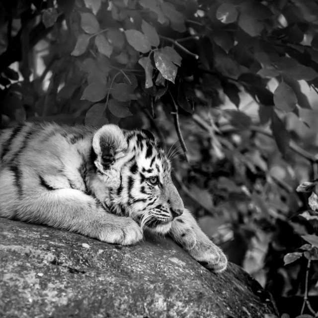 """Tiger cub chilling"" stock image"