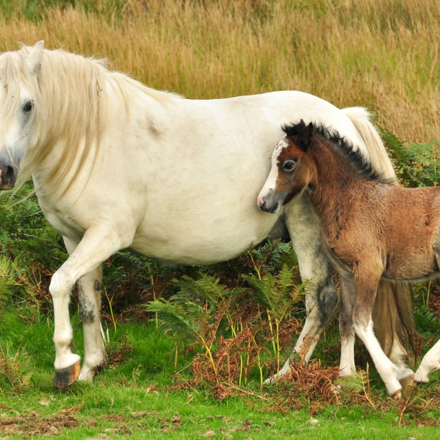 """Pony and Foal"" stock image"