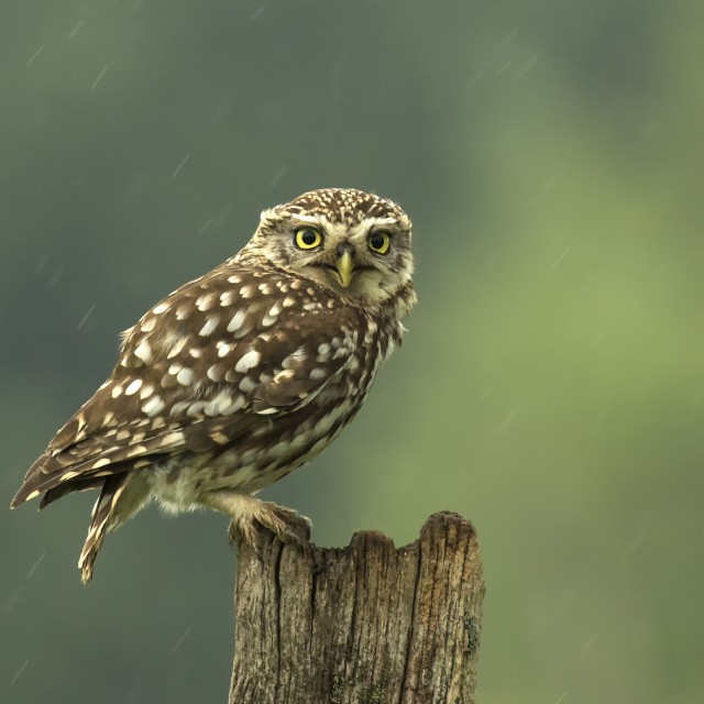 """Little Owl in the Rain"" stock image"