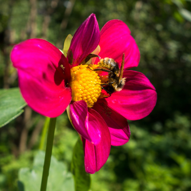 """""""Bumblebee pollinating a red flower"""" stock image"""