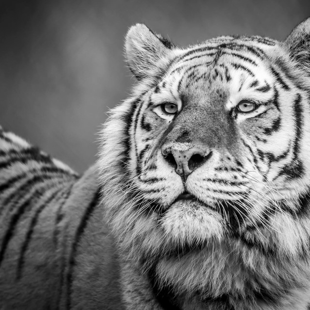 """Black and white Tiger"" stock image"
