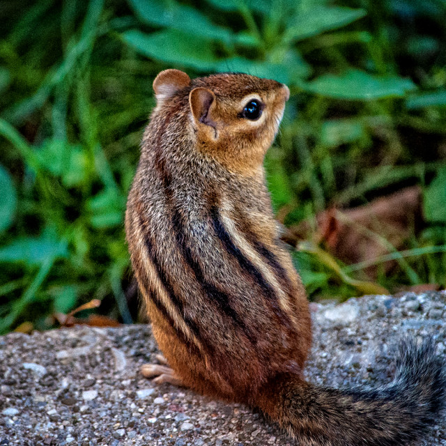 """Portrait of a Chipmunk"" stock image"