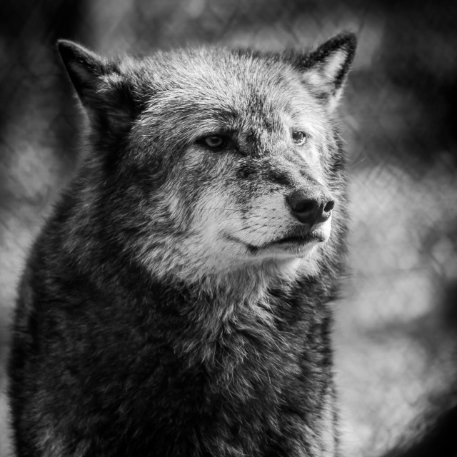 """Wolf portrait"" stock image"