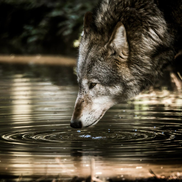 """Wolf ripple(colour)"" stock image"