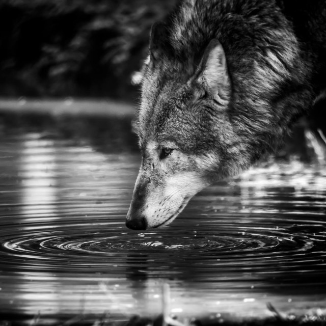 """Wolf ripple"" stock image"