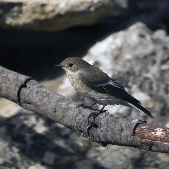 """Pied Flycatcher Female."" stock image"