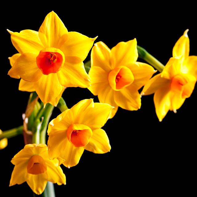 """Narcissus on Black"" stock image"