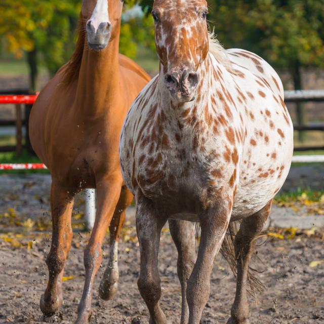 """Horses Arabians"" stock image"