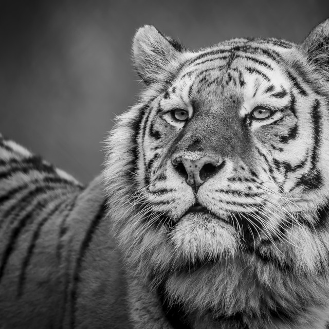 """Tiger black and white Hi-res"" stock image"
