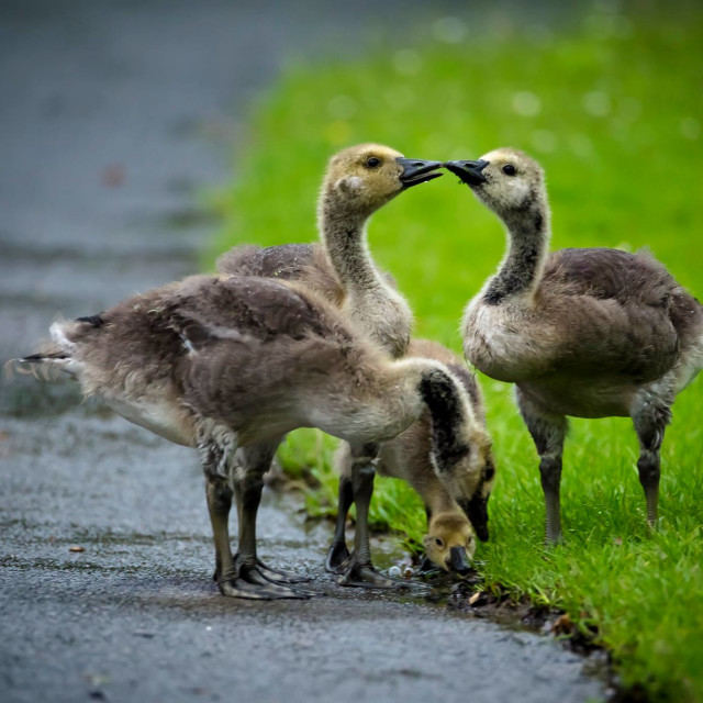 """goslings"" stock image"