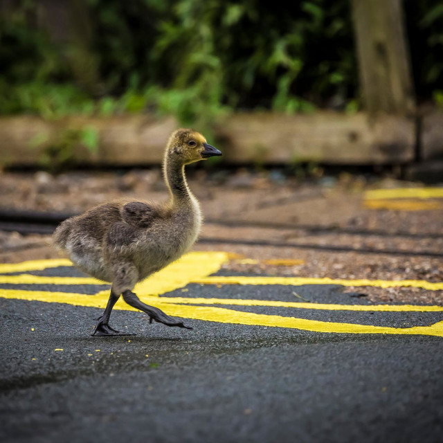 """Gosling crossing road"" stock image"
