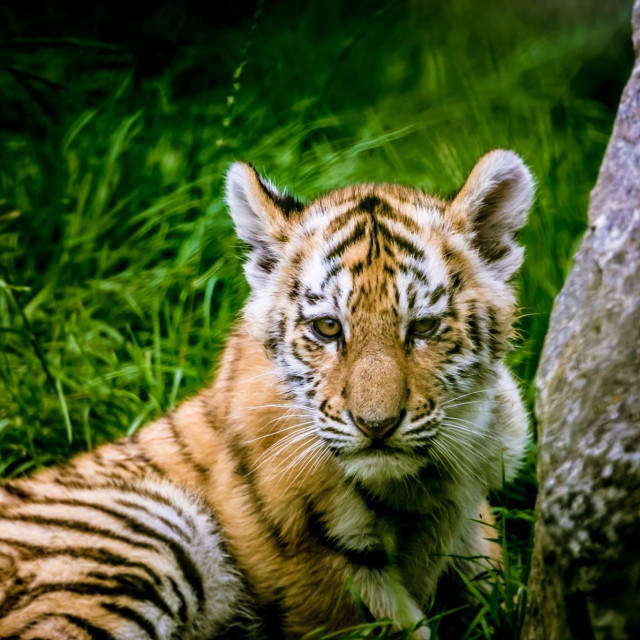 """A Tiger cub"" stock image"