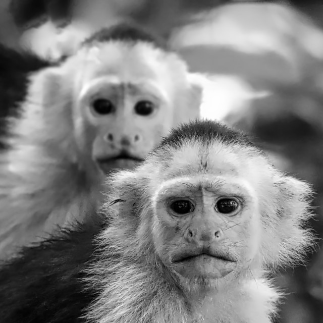 """""""White Faced Capuchin's"""" stock image"""